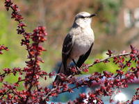 Just A Simple Northern Mockingbird