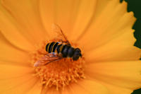 Bee-like fly on Coreopsis