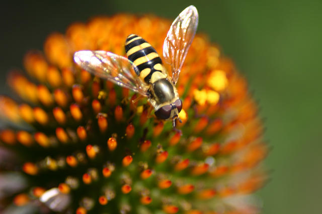 Bee-like fly on cone flower